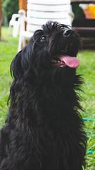 DSC_2038 (fábioparasmosánchez) Tags: dogs pets cute animals portraits eyes galgo italiano italian german shepherd adoption adopt