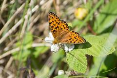 Dark Green Fritillary (Eskling) Tags: dark gree fritillary butterfly argynnisaglaja codown northern ireland bramble