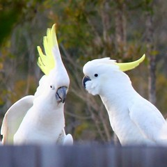 That's a camera over there (Gillian Everett) Tags: cockatoo crested sulphur queensland bird 365 2018 mdpd2018 mdpd20186