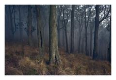 Gratitude (Mark McLeod 80) Tags: australia ballarat fog markmcleod markmcleodphotography mountbuninyong vic winter trees forest mody