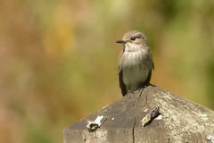 SPOTTED FLYCATCHER (_jypictures) Tags: animalphotography animals animal animalplanet canon canon7d canonphotography wildlife wildlifephotography wiltshire naturephotography nature photography pictures birdwatching birdingphotography birding birds bird birdphotography birders spottedflycatcher ukwildlife ukbirds ukbirding
