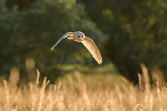 Sunset hunting (Stickyemu) Tags: wildlife nature bird birdofprey bif sunset goldenhour hunting nikond500 nikon200500mmf56 suffolk field meadow flight wings owl barnowl