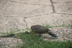 Common Flicker in the Backyard - May 27th & June 2nd, 2018 (Saline Michigan) (cseeman) Tags: commonflicker commonyellowshaftedflicker yellowshafted cold suetfeeder feeder birds michigan saline backyard woodpecker commonflicker06022018