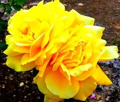 Rosas nuevamente... (nora2santamaria) Tags: rosas flores flowers