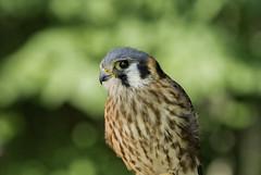 Crécerelle d'amérique (monilague) Tags: oiseaux bird proie prey uqrop réhabillitation démonstration été jour crécerelle damérique falco sparverius american kestre