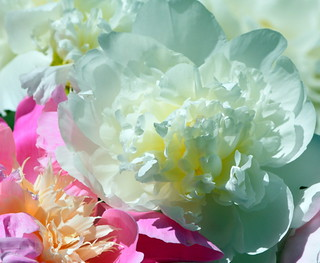 MY FAITHFUL AND BEAUTIFUL PEONY.  IT HAS BEEN MAKING ME SMILE EVERY SPRING FOR 23 YEARS.  ABBOTSFORD,  BC.