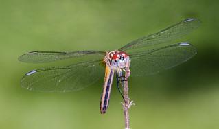 Female Blue Dasher