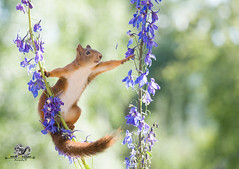 Red squirrel between a Delphinium flower reaching (Geert Weggen) Tags: beauty blossom blue closeup colorimage delphinium extremecloseup field flower flowerhead flowerbed fragility greencolor growth herb leaf multicolored nature nopeople outdoors perennial petal photography plant publicpark scenicsnature season spice springtime summer vertical vibrantcolor eurasianredsquirrel autumn animalwildlife animalsinthewild winter woodland squirrel rodent mammal garden split spread yoga reaching bispgården jämtland sweden geert weggen ragunda