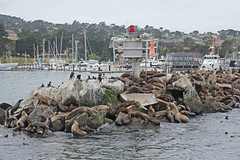Monterey (SyndromeDeStendhal) Tags: usa unitedstatesofamerica étatsunis amérique californie california seal sealion seals sealions westcoast