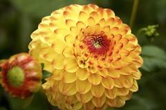 Dahlia (Dahliatuin Helmond) (ToJoLa) Tags: 2017 canon canoneos60d yellow geel pompoen dahlia macro makro bloem dahliatuin dahliavereniging helmond