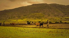 Community Plowing (Rod Waddington) Tags: africa african afrique afrika äthiopien ethiopia ethiopian ethnic etiopia ethnicity ethiopie etiopian plough plow plowing ploughing tigray cattle farm farming community mountain field rural outdoor farmer