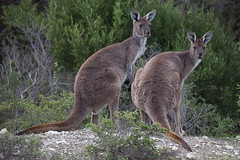 Western Grey Kangaroos ( Macropus fullginosus ) in the wild (Malcom Lang) Tags: westerngraykangaroo westerngreykangaroos westergray western gray kangaroo kangaroos macros fulliginosus macropus mallee sooty black faced common animal native tail fur legs ears eyes looking you rocks limestone shrubs scrub leaves bush twigs green wildanimal wild lincoln lincolnnationalparksouthaustralia lincolnnationalpark southaustralia southern south southernaustralia southerneyrepeninsula australia australian aussie canoneos6d canon canon6d canonef 100400mm canon100400 canon100400ef mallangphotography ngc ag