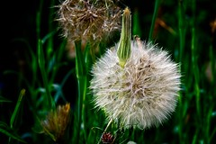 Perfect moment (FotoFloridian) Tags: nature plant flower fluffy seed summer closeup macro grass springtime singleflower beautyinnature outdoors meadow growth greencolor fragility botany stem sony alpha a6000