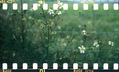 (Ifitis) Tags: pentaconsixtl carlzeissbiometar80mmf28mc e6 fujihunt diy kualalumpur provia100 120to35 self green flower slide rotating processor malaysia p6 胶卷 菲林 film filmsprocketholes 潘泰康 filem