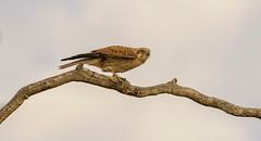 nankeen kestrel (Fat Burns ☮) Tags: nankeenkestrel falcocenchroides raptor bird australianbird fauna australianfauna kestrel nikond500 nikon200500mmf56eedvr hawk barcaldine queensland australia wildlife australianwildlife