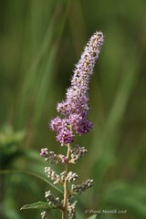 Spiraea, sp. (Frank Mantlik) Tags: spiraea flower newyork summer