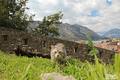 Cat @ Kotor (morbidtibor) Tags: kat cat kater poes pussycat kitten kotor cattaro monenegro