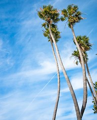 """""""Sometimes you have to bend with the breeze or you break."""" - Steve McQueen _ Iconic California Palms 🌴 near San Diego. _ If you haven't watched my Instagram Stories recently,️check out a few highlights on @travelwithbender. _ Camera: Canon EOS 7 (travelwithbender) Tags: photo travel instagram"""