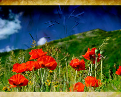 Find me in Summer (Karen McQuilkin) Tags: texture poppies own grasses