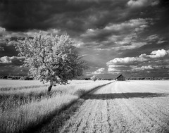 IR-tree | 4x5 Rollei infrared | (Tony Bokeh Larsson) Tags: rolleiinfrared 4x5 largeformat infrared film carlzeiss jena tessar 120 nature clouds fields barns trees outside sky vintage old summer blackwhite abandoned sweden storm breathtakinglandscapes