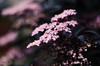 Little Stars!! (BGDL) Tags: lightroomcc nikond7000 nikkor50mm118g bgdl niftyfifty flowers plant bokeh week25 weeklytheme flickrlounge