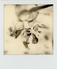 untitled (kaumpphoto) Tags: polaroid sx70 instant tulip fade faded monchrome petals decay
