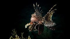 Indian Lionfish (Pterois miles)