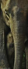 Protecting Baby!! (MWBee) Tags: srilanka udawalawenaturereserve elephant calf mwbee nikon d750 nationalgeographic|wildanimals mother