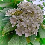 Viburnum opulus flowers - HDR - Soft Colors thumbnail