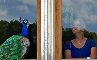 France: Le Rivau château peacock