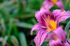 20180628-DSCF0671.jpg (Astral/H3X) Tags: rokinon21mmf14edasumc bloomington indiana unitedstates us foilage plants flower