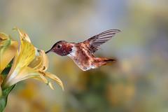 Summer Sweetness (Patricia Ware) Tags: allenshummingbird alstroemeria backyard birdsinflight california canon fullframe manhattanbeach multipleflash selasphorussasin tripod ©2018patriciawareallrightsreserved specanimal sunrays5