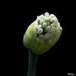 Onion Flower Buds - Bourgeons d'oignon thumbnail