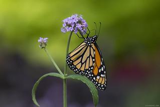 Butterfly 2018-55