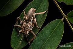Armored katydid nymph (Enyaliopsis petersi) - DSC_5211 (nickybay) Tags: macro africa mozambique sofala gorongosa chitengocamp nymph tettigoniidae enyaliopsis petersi armored katydid