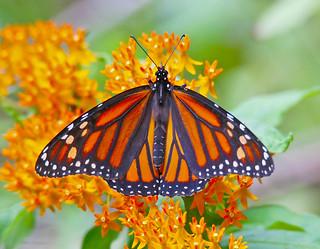monarch-butterfly-13w