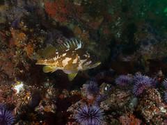 P7230169.jpg (alwayslaurenj) Tags: gor gopherrockfish montereycarmel pointlobos reefcheck purpleurchin redurchin