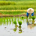 Woman planting her rice paddy