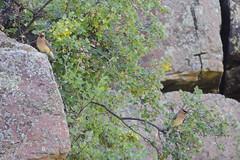 Cedar Waxwings (Boulder Flying Circus Birders) Tags: cedarwaxwing bombycillacedrorum cedarwaxwingcolorado cedarwaxwingboulder wildbirdboulder wildbirdcolorado boulderflyingcircusbirders freebirdwalk saturdaymorningbirders oldstvrainroad lyons colorado stevefrye