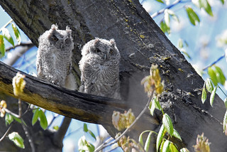 Eastern Screech-Owl - Petit-duc maculé - Megascops asio (D72_3703-1PE-20180511)