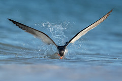 Making a Splash (PeterBrannon) Tags: bird fishing flight florida nature reflection rynchopsniger skimmer skimming skimmingthesurface water wildlife blackskimmer lowpov ocean