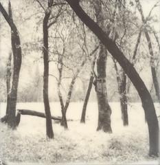 more oaks (lawatt) Tags: tree trunks oaks meadow yosemite silver film polaroid 600 bw slr680