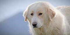 P1200355 (Denis-07) Tags: berger des pyrénées chien de troupeaux animal dog