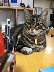 Tigger Contemplates the Pens (sjrankin) Tags: 17july2018 edited animal cat tigger closeup table livingroom pens kitahiroshima hokkaido japan