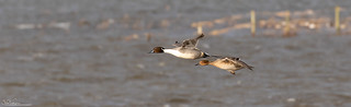 A Pair Of Pintail