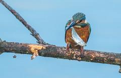 kingfisher (cogs2011) Tags: kingfisher fish