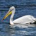 Dalmatian pelican_01