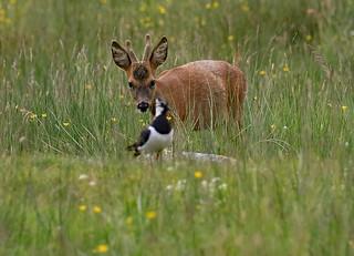 Roe Deer........ inquisitve stare.