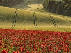 Folds (Eddie Hyde ARPS) Tags: poppies sunrise dawn sussex landscape