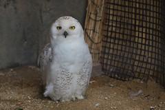 Snowy owl / シロフクロウ (kiyoto.hamano) Tags: d500 animal tobuzoo 東武動物公園 zoo snowyowl シロフクロウ